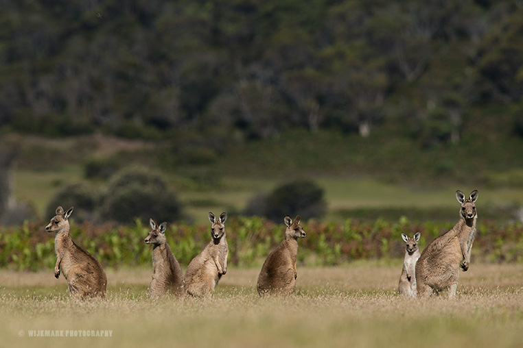 A group of forester kangaroos in Narawntapu