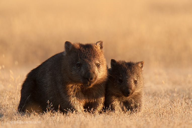 Wombat female with young just after emerging from the burrow.